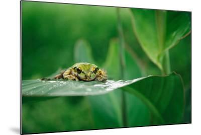 Nosara, Costa Rica: A Frog Sits Out a Rainstorm on a Broad Leafed Plant-Ben Horton-Mounted Photographic Print