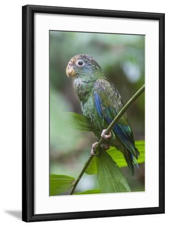 A Juvenile White-Crowned Parrot, Pionus Senilis, Perches on a Twig in the Lowland Rainforest-Gabby Salazar-Framed Photographic Print