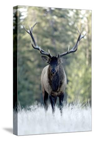A Bull Elk, Cervus Canadensis, Stands in a Frost Covered Meadow-Barrett Hedges-Stretched Canvas Print
