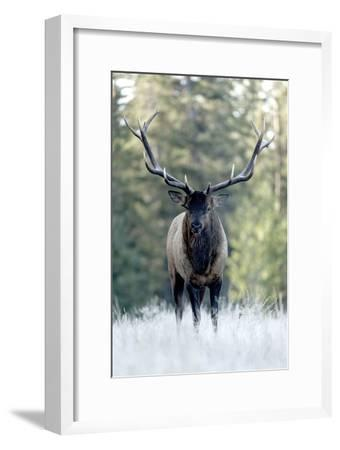 A Bull Elk, Cervus Canadensis, Stands in a Frost Covered Meadow-Barrett Hedges-Framed Photographic Print