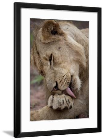 An African Lion, Panthera Leo, Licks its Paw-Gabby Salazar-Framed Photographic Print