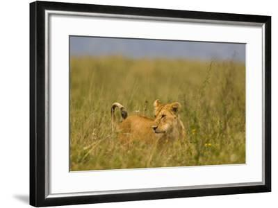 Tanzania, Africa: A Lioness Roams the Tall Grass in Serengeti National Park-Ben Horton-Framed Photographic Print