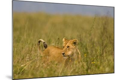 Tanzania, Africa: A Lioness Roams the Tall Grass in Serengeti National Park-Ben Horton-Mounted Photographic Print