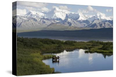 A Bull Moose, Alces Alces, Enters a Kettle Pond in the Backcountry of Denali National Park-Barrett Hedges-Stretched Canvas Print
