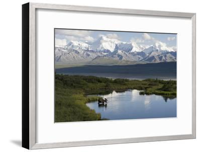 A Bull Moose, Alces Alces, Enters a Kettle Pond in the Backcountry of Denali National Park-Barrett Hedges-Framed Photographic Print