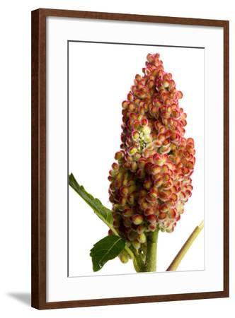 Fruit of the Smooth Sumac Plant, Rhus Glabra-Joel Sartore-Framed Photographic Print