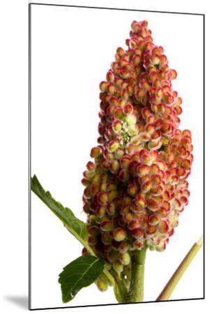 Fruit of the Smooth Sumac Plant, Rhus Glabra-Joel Sartore-Mounted Photographic Print