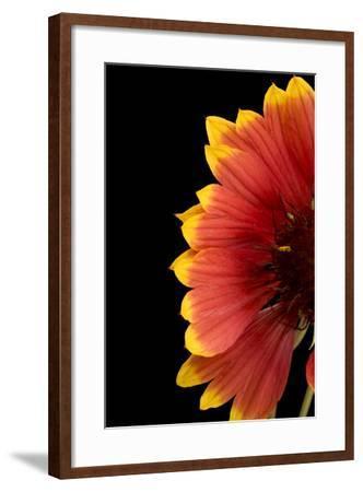 Part of a Fire Wheel Flower, Gaillardia Pulchella-Joel Sartore-Framed Photographic Print