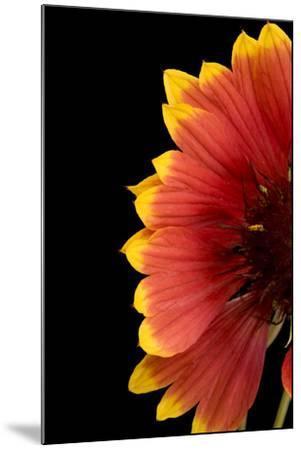 Part of a Fire Wheel Flower, Gaillardia Pulchella-Joel Sartore-Mounted Photographic Print