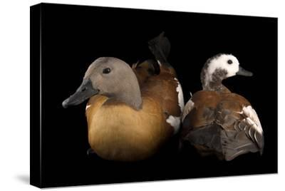 South African Shelducks, Tadorna Cana, at the Palm Beach Zoo-Joel Sartore-Stretched Canvas Print