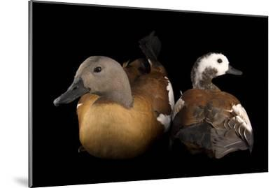 South African Shelducks, Tadorna Cana, at the Palm Beach Zoo-Joel Sartore-Mounted Photographic Print