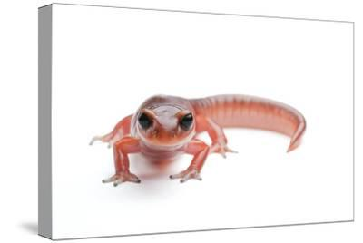 An Ensatina Salamander, Ensatina Eschscholtzii Eschscholtzii-Joel Sartore-Stretched Canvas Print