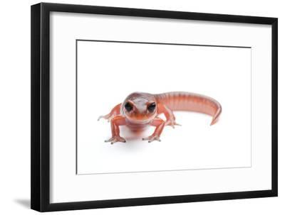 An Ensatina Salamander, Ensatina Eschscholtzii Eschscholtzii-Joel Sartore-Framed Photographic Print