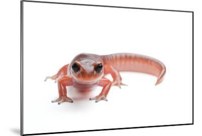 An Ensatina Salamander, Ensatina Eschscholtzii Eschscholtzii-Joel Sartore-Mounted Photographic Print