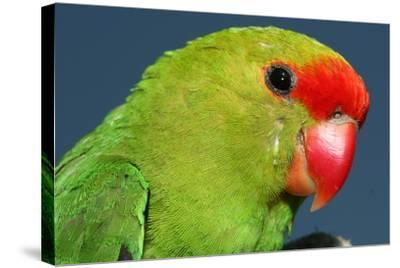Close Up of a Black-Winged Lovebird, Agapornis Taranta-Cagan Sekercioglu-Stretched Canvas Print