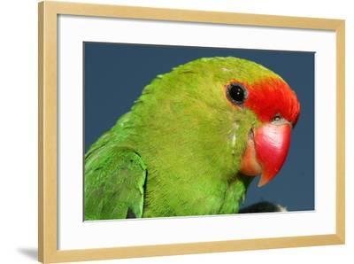 Close Up of a Black-Winged Lovebird, Agapornis Taranta-Cagan Sekercioglu-Framed Photographic Print