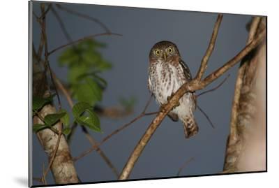 A Cuban Pygmy Owl, Glaucidium Siju, Perched in a Tree, Looking at the Camera-Cagan Sekercioglu-Mounted Photographic Print