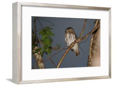 A Cuban Pygmy Owl, Glaucidium Siju, Perched in a Tree, Looking at the Camera-Cagan Sekercioglu-Framed Photographic Print