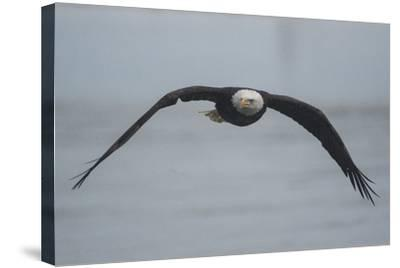 Portrait of a Bald Eagle, Haliaeetus Leucocephalus, in Flight-Bob Smith-Stretched Canvas Print