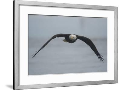 Portrait of a Bald Eagle, Haliaeetus Leucocephalus, in Flight-Bob Smith-Framed Photographic Print