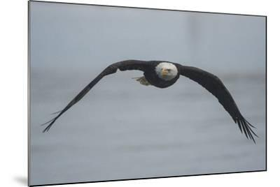 Portrait of a Bald Eagle, Haliaeetus Leucocephalus, in Flight-Bob Smith-Mounted Photographic Print