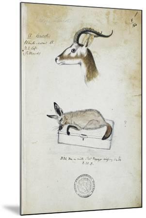 Drawing of an Antelope and a Fox-John Hanning Speke-Mounted Giclee Print