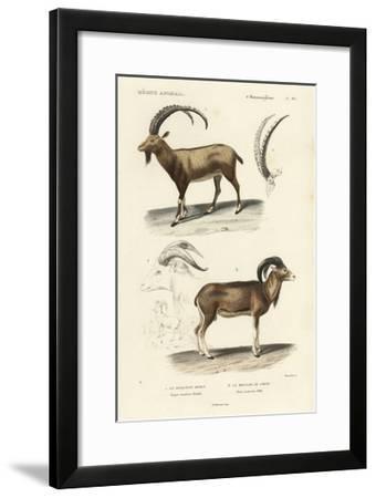 Antique Antelope and Ram Study-N^ Remond-Framed Art Print