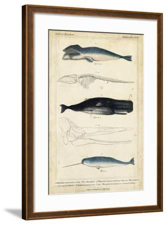 Antique Whale and Dolphin Study III-G. Henderson-Framed Art Print