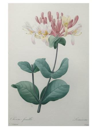 Honeysuckle-Pierre-Joseph Redoute-Stretched Canvas Print