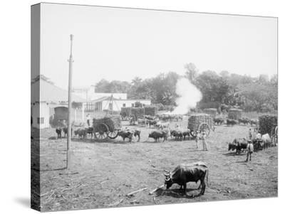 Weighing Sugar Cane before Unloading at the Mill--Stretched Canvas Print