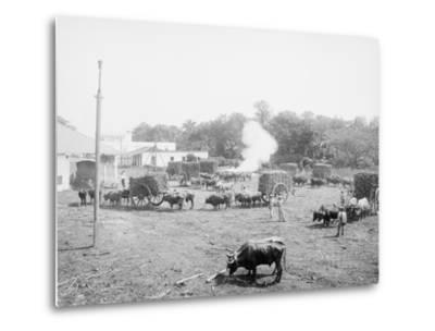Weighing Sugar Cane before Unloading at the Mill--Metal Print