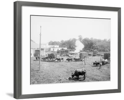 Weighing Sugar Cane before Unloading at the Mill--Framed Photo