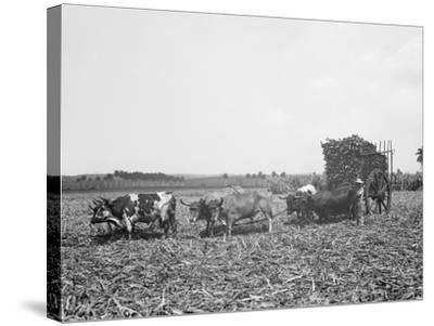 A Load of Cane on a Cuban Sugar Plantation--Stretched Canvas Print