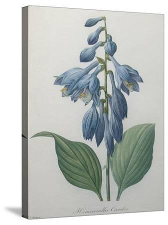 Blue Day Lillies-Pierre-Joseph Redoute-Stretched Canvas Print