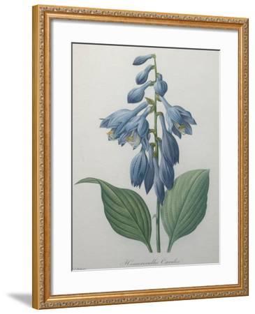 Blue Day Lillies-Pierre-Joseph Redoute-Framed Art Print