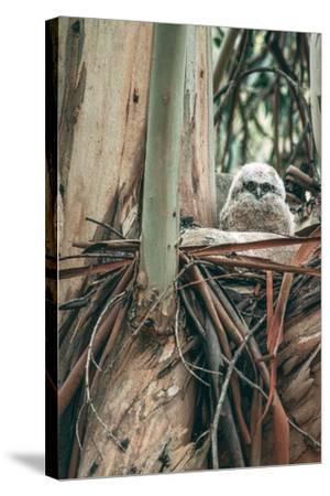 Baby Great Horned Owl in Eucalyptus, Berkeley California-Vincent James-Stretched Canvas Print
