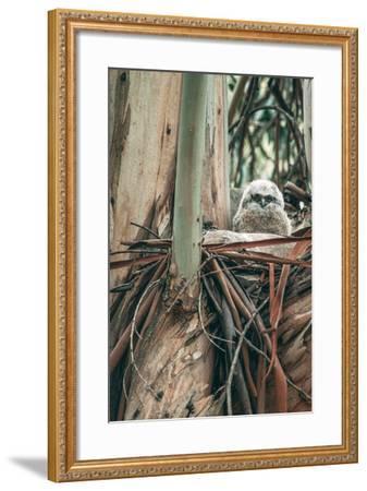 Baby Great Horned Owl in Eucalyptus, Berkeley California-Vincent James-Framed Photographic Print