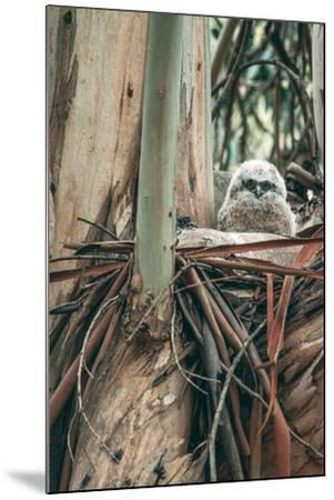 Baby Great Horned Owl in Eucalyptus, Berkeley California-Vincent James-Mounted Photographic Print