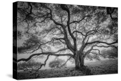 Majestic Old Oak, Black and White, Petaluma Northern California-Vincent James-Stretched Canvas Print