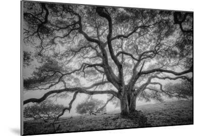 Majestic Old Oak, Black and White, Petaluma Northern California-Vincent James-Mounted Photographic Print