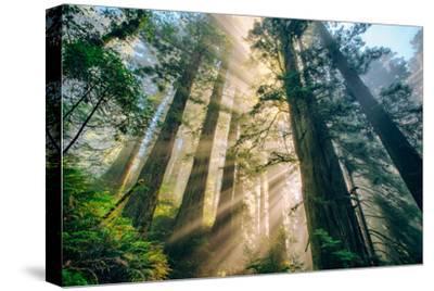 Divine Forest Light Coast Redwoods Del Norte California-Vincent James-Stretched Canvas Print