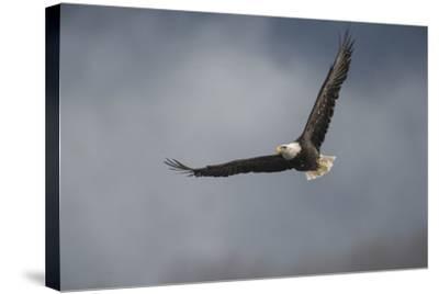 Portrait of a Bald Eagle, Haliaeetus Leucocephalus, in Flight-Bob Smith-Stretched Canvas Print
