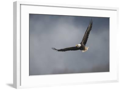 Portrait of a Bald Eagle, Haliaeetus Leucocephalus, in Flight-Bob Smith-Framed Photographic Print
