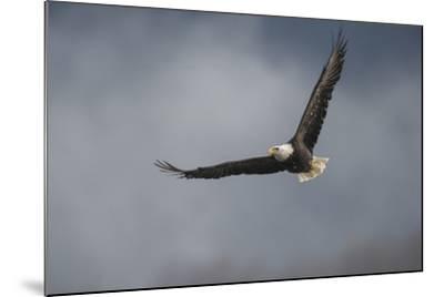Portrait of a Bald Eagle, Haliaeetus Leucocephalus, in Flight-Bob Smith-Mounted Photographic Print
