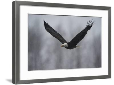 Portrait of a Bald Eagle, Haliaeetus Leucocephalus, in Flight in a Snow Shower-Bob Smith-Framed Photographic Print