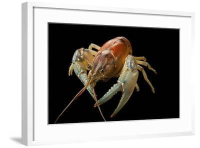A Virile Crayfish, Orconectes Virilis, from Leech Lake in Minnesota-Joel Sartore-Framed Photographic Print