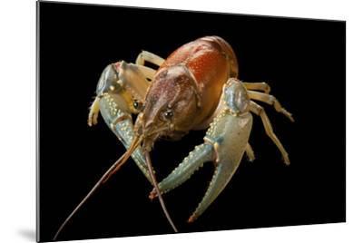 A Virile Crayfish, Orconectes Virilis, from Leech Lake in Minnesota-Joel Sartore-Mounted Photographic Print