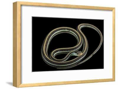 An Eastern Ribbon Snake, Thamnophis Sauritus Sauritus-Joel Sartore-Framed Photographic Print