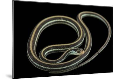 An Eastern Ribbon Snake, Thamnophis Sauritus Sauritus-Joel Sartore-Mounted Photographic Print