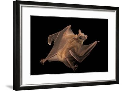 A Long-Haired Rousette, Rousettus Lanosus, at the Lincoln Children's Zoo-Joel Sartore-Framed Photographic Print